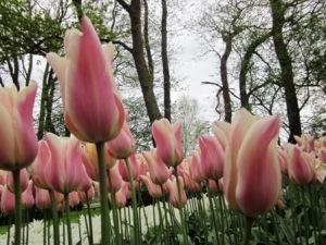 Gradasi warna tulip yang menakjubkan !