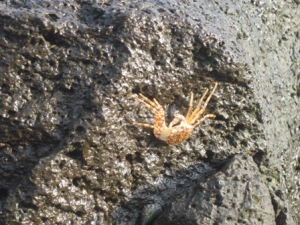 Kepiting di batu karang Senggigi