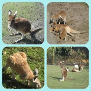 Berbagai pose kangguru (candid), haha...
