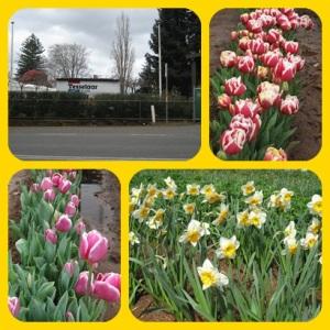 mel-tulip