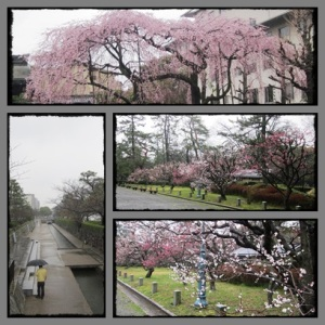 Sakura start blossom @ Kyoto