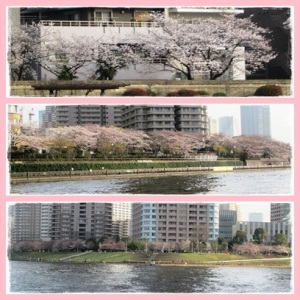 Sakura di mana-mana