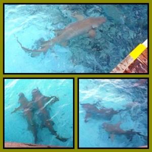 Black tip reef shark, bisa sekitar 2 meter panjangnya.