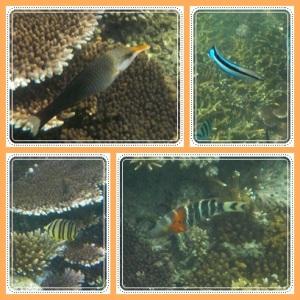 Birdnose wrasse fish (ikan yang bermoncong itu)