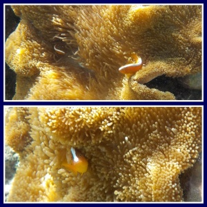 Orange skunk clownfish - sepupunya nemo