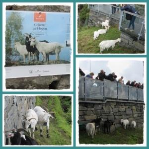 floyen goat